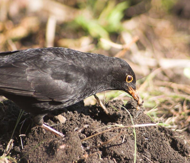 äta för blackbird fotografering för bildbyråer