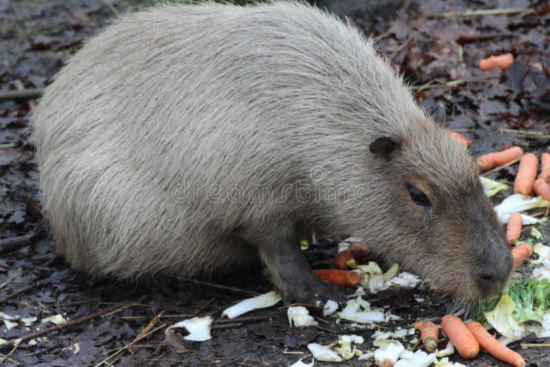 Äta för Capybara royaltyfri foto