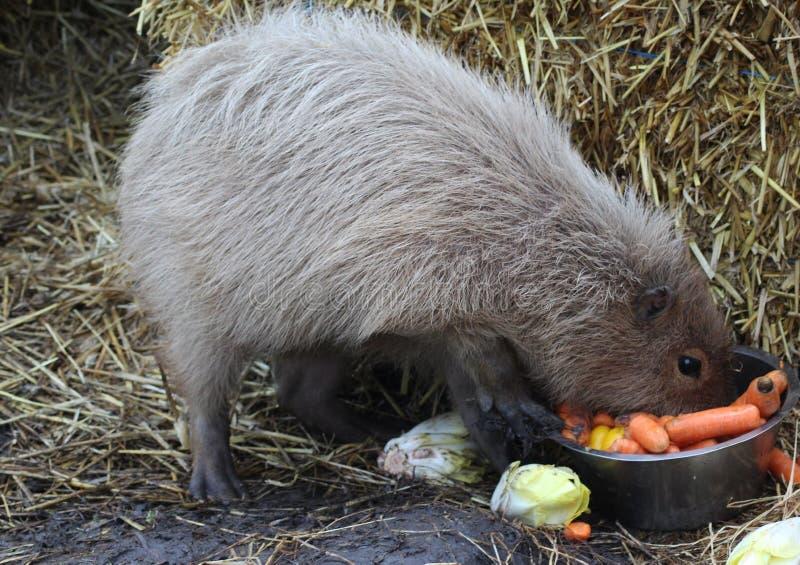 Äta för Capybara arkivfoton