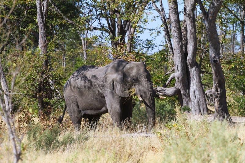 Äta för elefant royaltyfri fotografi
