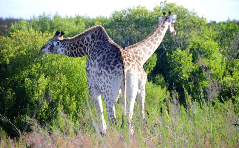 Äta för giraffpar arkivfoto