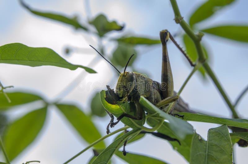 Äta för gräshoppa royaltyfria bilder