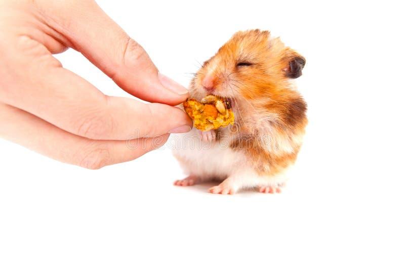 Äta för Hamster royaltyfri bild