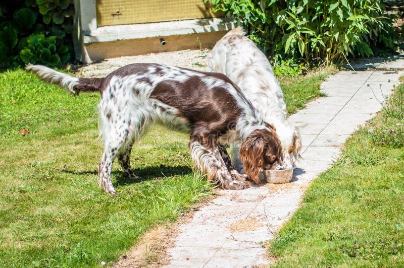 Äta för hund för jakt två arkivbilder