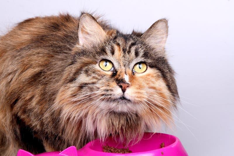 äta för katt royaltyfri bild
