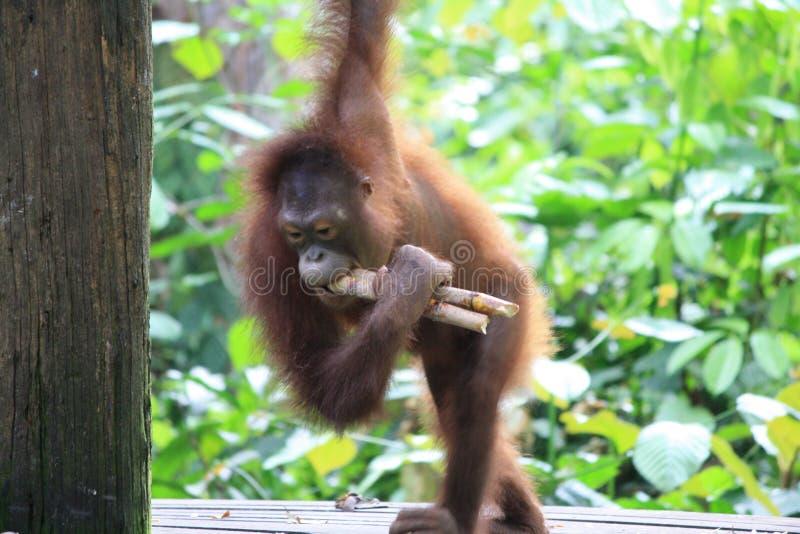 Äta för Orangutan royaltyfri fotografi