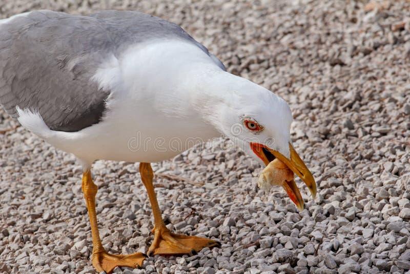 Äta för Seagull arkivbilder