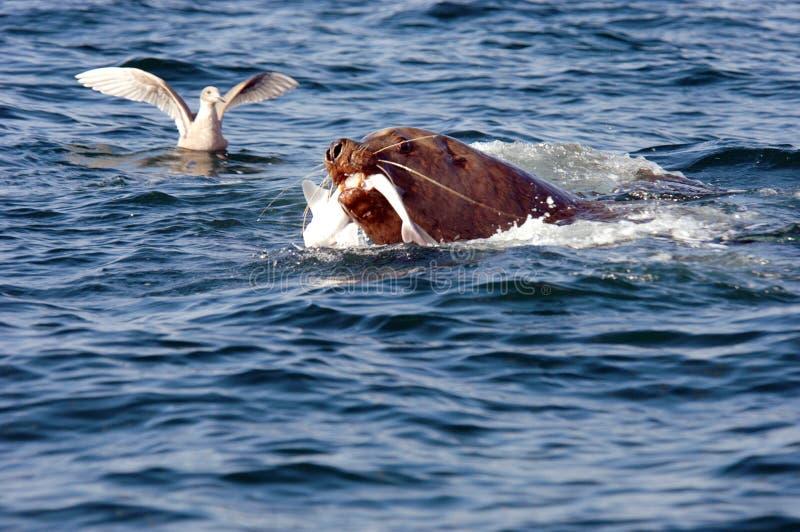 äta fisklionhavet royaltyfria foton