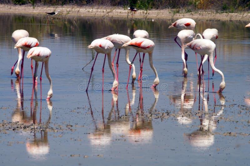 äta flamingos fotografering för bildbyråer