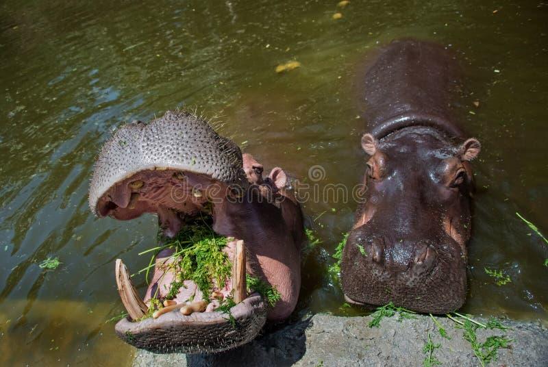 Äta flodhästar i vattnet med öppna käkar, in i vilken nedgångar gräset solig dag Horisontalramen fotografering för bildbyråer