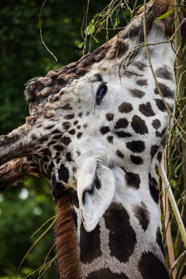 äta giraffleaves arkivbilder