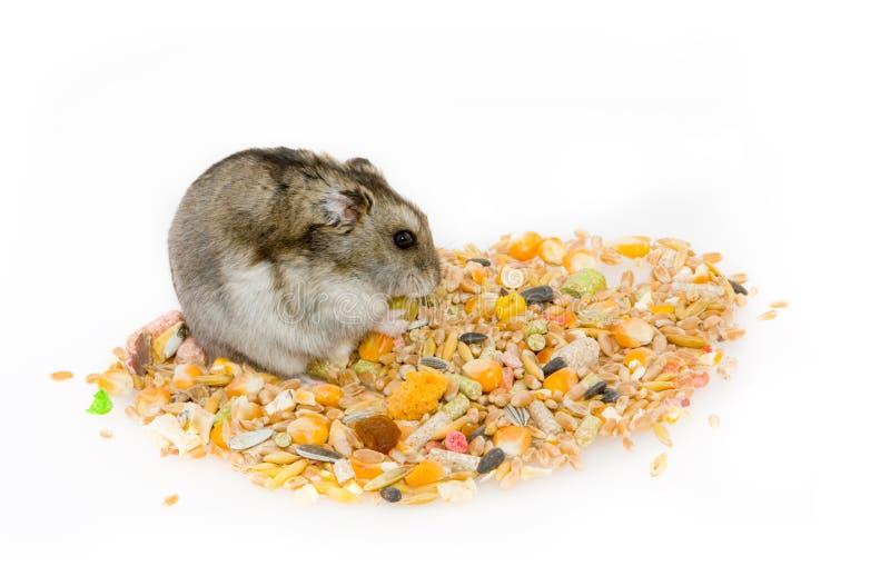 äta hamsteren arkivfoto