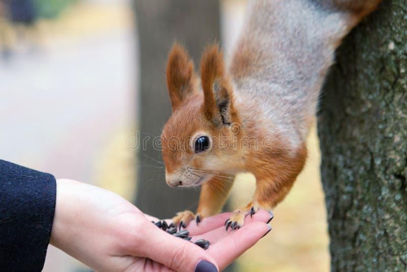 Download äta Handekorren Vitryssland Gomel Parkerar Arkivfoto - Bild av litet, frö: 78726872