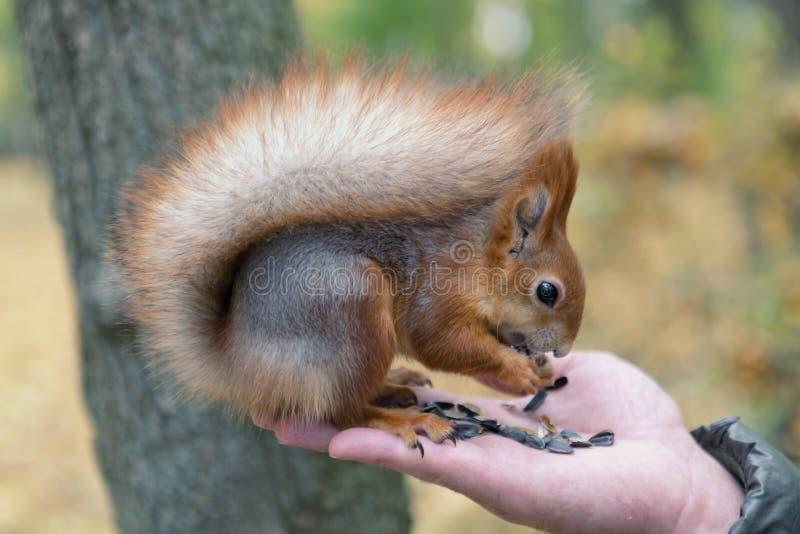 Download äta Handekorren Vitryssland Gomel Parkerar Fotografering för Bildbyråer - Bild av natur, wild: 78727443