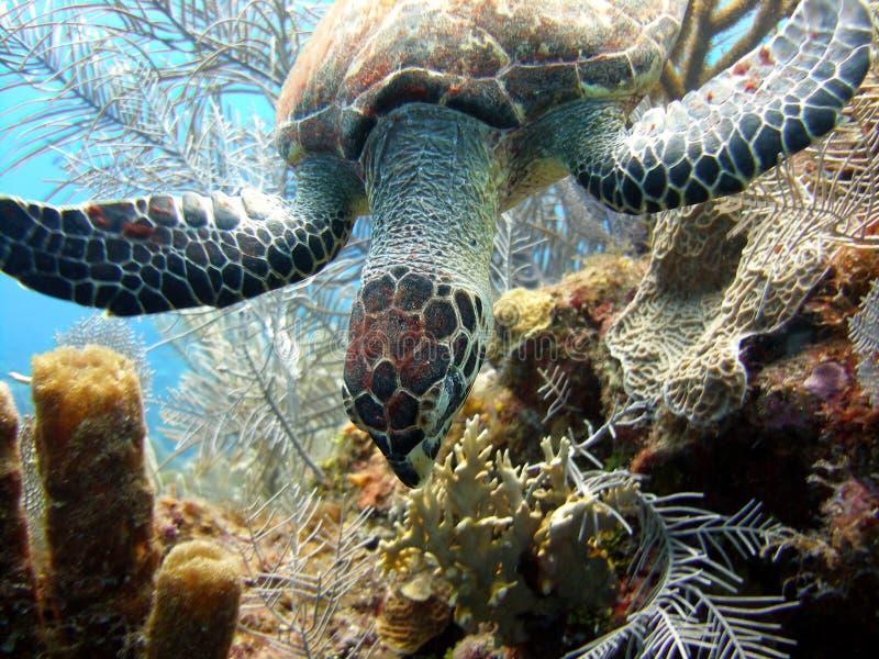 äta havssköldpaddan arkivfoto