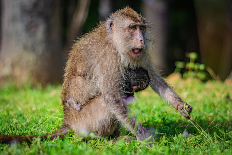 Äta-krabban matar macaquen lång-tailed macaquemodern den unga apan som fästas till dess bröst i den Koh Lanta ön i Nationaen royaltyfria foton