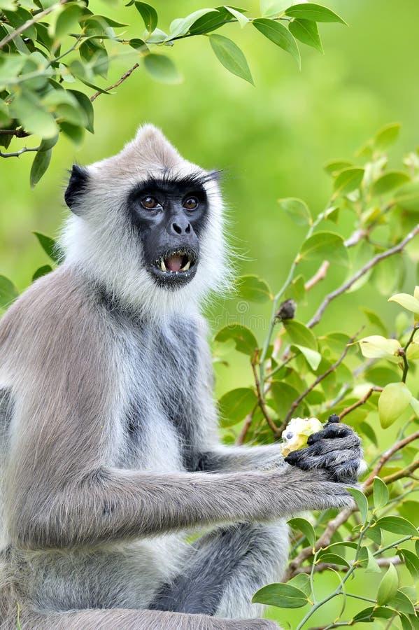 Äta languren Closeupstående av Tufted Semnopithecus för grå färglangur priam, också som är bekant som Madras grå färglangur och C royaltyfri fotografi