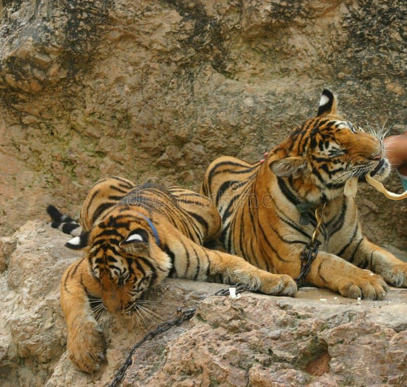 äta tigrar arkivbilder