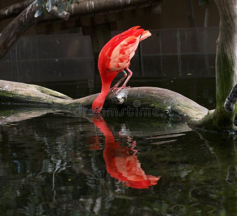 äta waterfowl royaltyfria foton