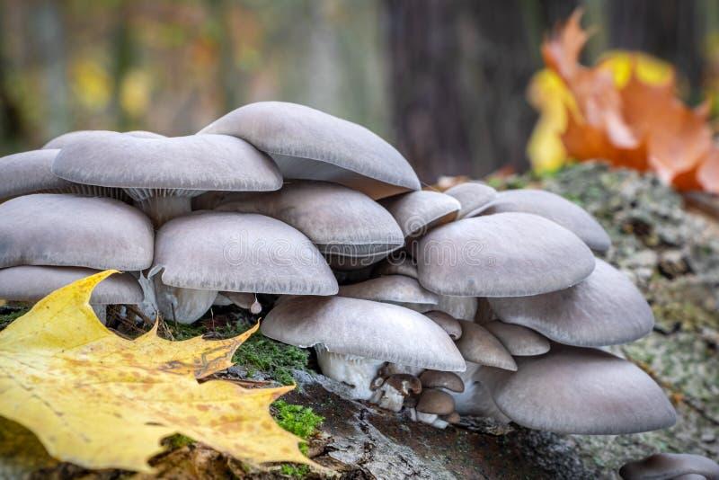 Ätbar ostronsvamp i autumnskog arkivbild