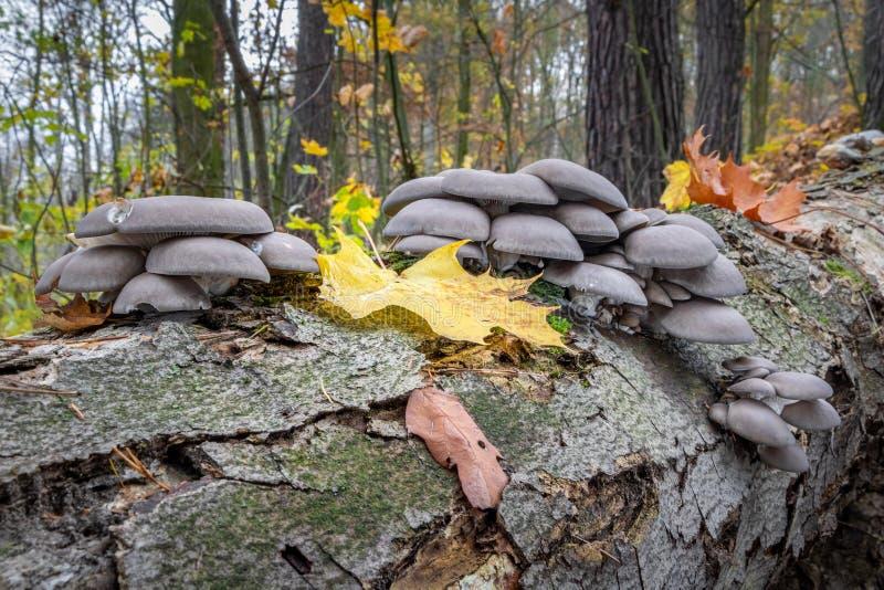 Ätbar ostronsvamp på död trädstam royaltyfria foton