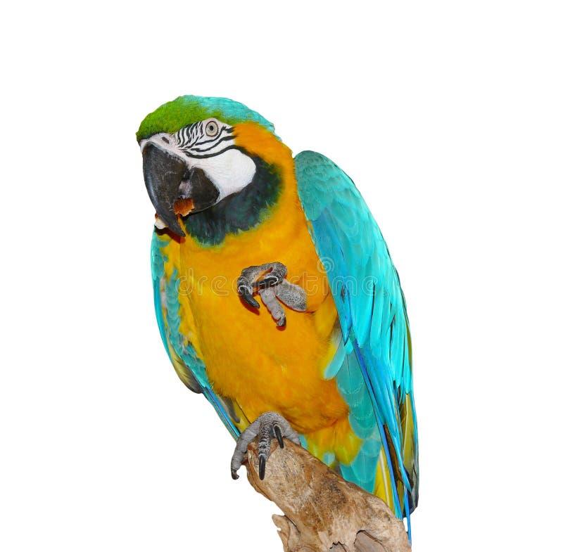 äter hälsar papegojan royaltyfri bild