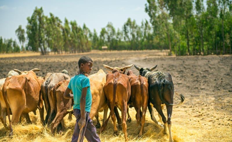 Äthiopischer Junge, der seine Kühe für dreschende Ernte verwendet lizenzfreie stockbilder