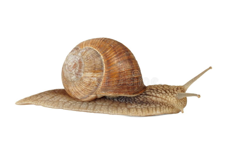 ätlig snail arkivfoton