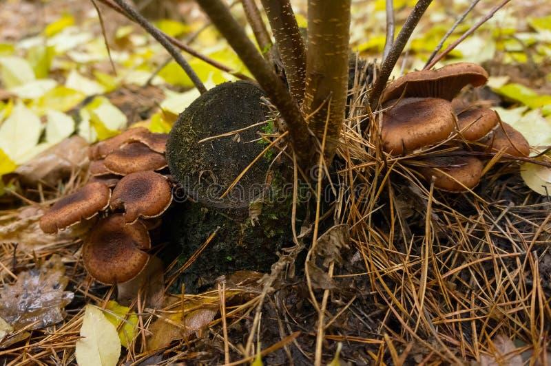 Ätliga agaricchampinjoner fotografering för bildbyråer