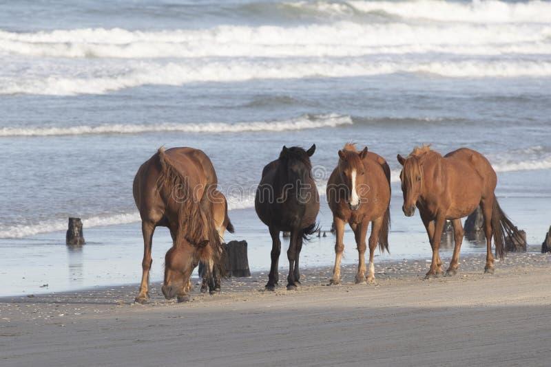 Äußere Bank-wilde Pferde auf dem Strand lizenzfreie stockfotografie