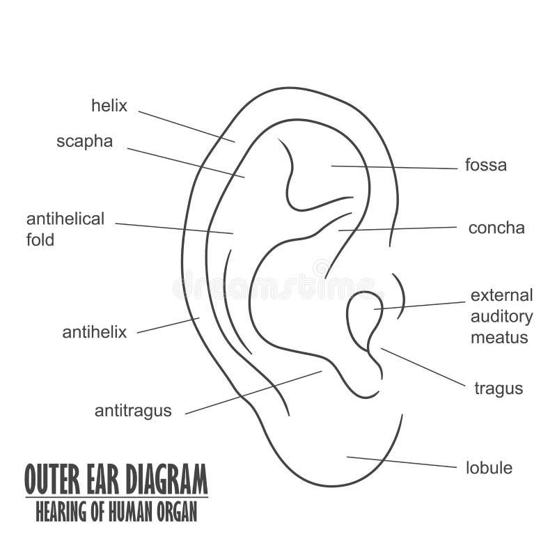 Äußeres Ohr-Diagramm, Das Von Menschliches Organ Hört Vektor ...