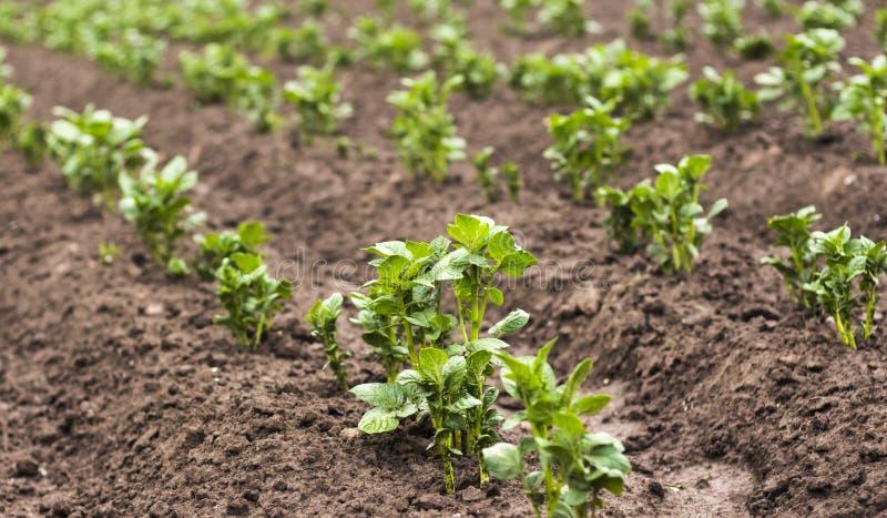 Även rader av att växa gröna potatisar i jordbruk fotografering för bildbyråer
