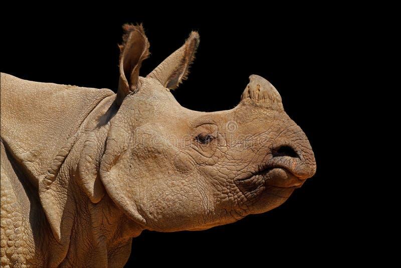印度在黑色的犀牛画象 库存照片