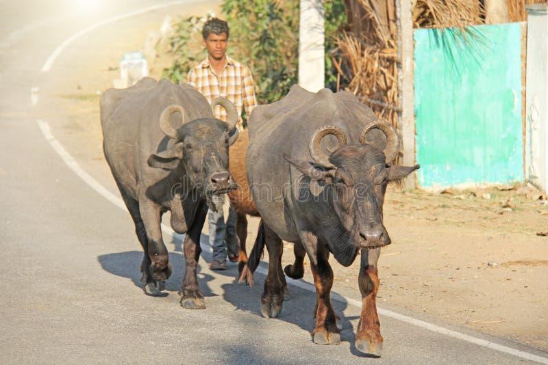印度,亨比,2018年1月31日 牧羊人驾驶沿路的黑色美洲野牛 免版税库存图片