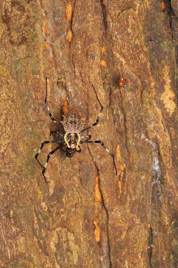 华丽天体织布工蜘蛛,女性和男性,Herennia multipuncta,大乡绅,马哈拉施特拉,印度 免版税库存照片