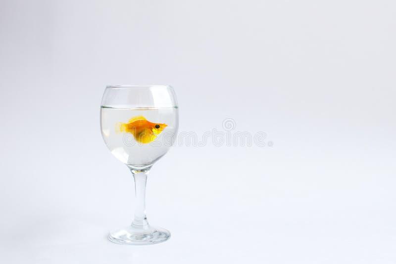 单独金鱼在玻璃酒杯游泳 图库摄影