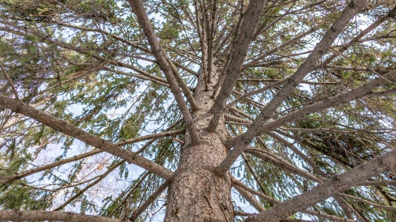 反对天空蔚蓝的云杉的冠在一个清楚的冬日 免版税库存照片