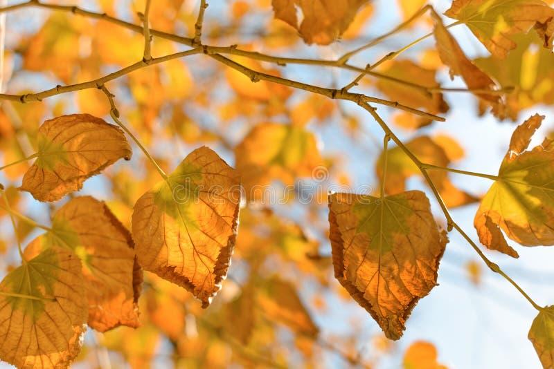 反对天空蔚蓝的金黄秋叶 免版税库存照片