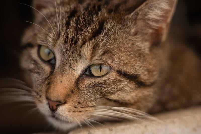 可爱和严肃的雄猫 库存图片