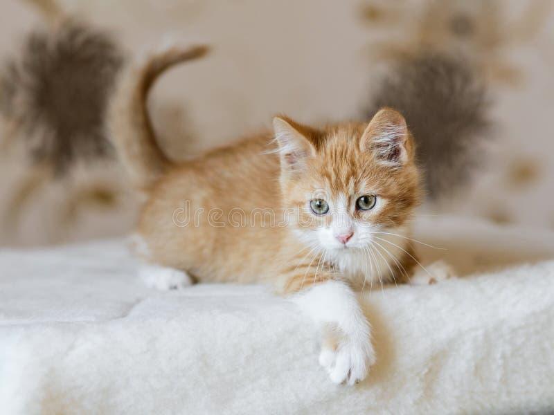 可爱的嬉戏的红色橙色蓬松小猫在家 免版税库存照片