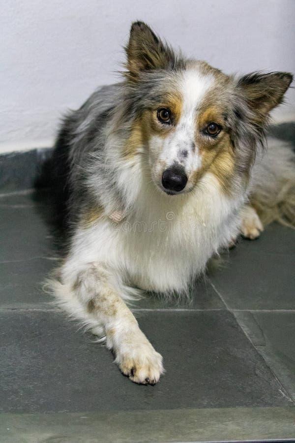 可爱的灰色和白色博德牧羊犬美丽的春天画象  免版税库存图片