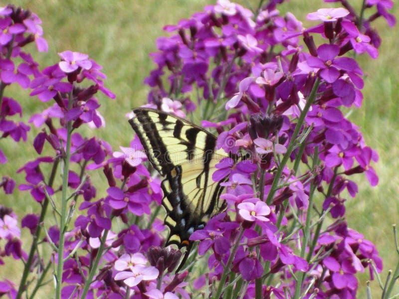 可爱的黄色在伊利沙伯王后公园庭院的老虎swallowtail蝴蝶授粉的花 免版税库存图片