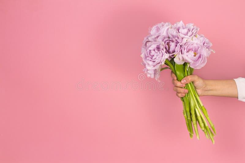 双重紫罗兰色郁金香花美丽的大花束在手中在粉红彩笔背景 图库摄影