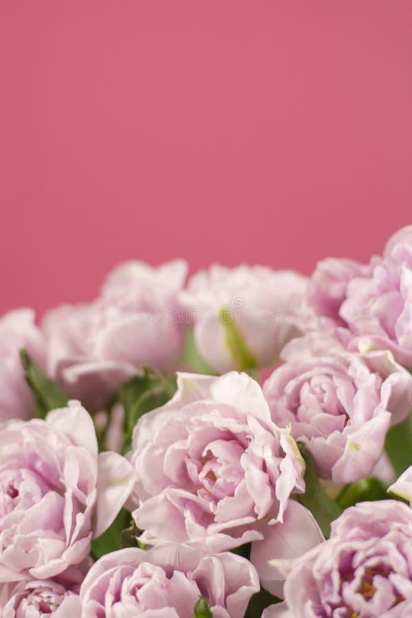 双重紫罗兰色郁金香花美丽的大花束的关闭在黑暗的桃红色背景的 选择聚焦 免版税库存图片