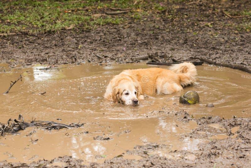 变冷静在泥浆坑的金毛猎犬 免版税图库摄影