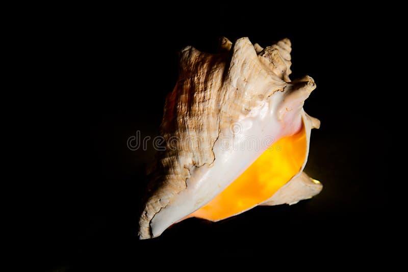 发光在后照光的大贝壳 图库摄影