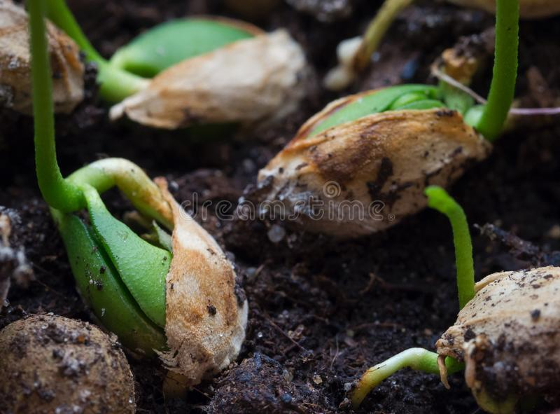 发芽种子,植物年轻射击  图库摄影