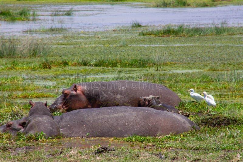 取暖由沼泽的河马 免版税库存图片