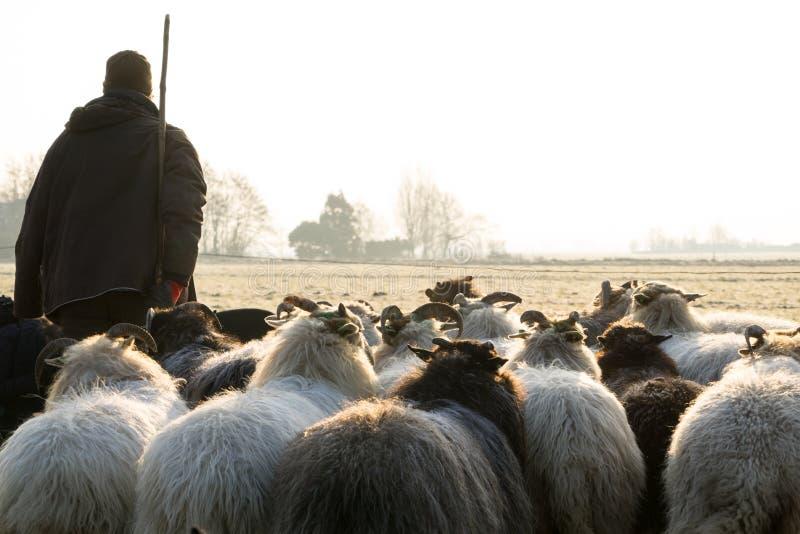后面观点的绵羊牧群与一位牧羊人的冬天太阳的 库存照片