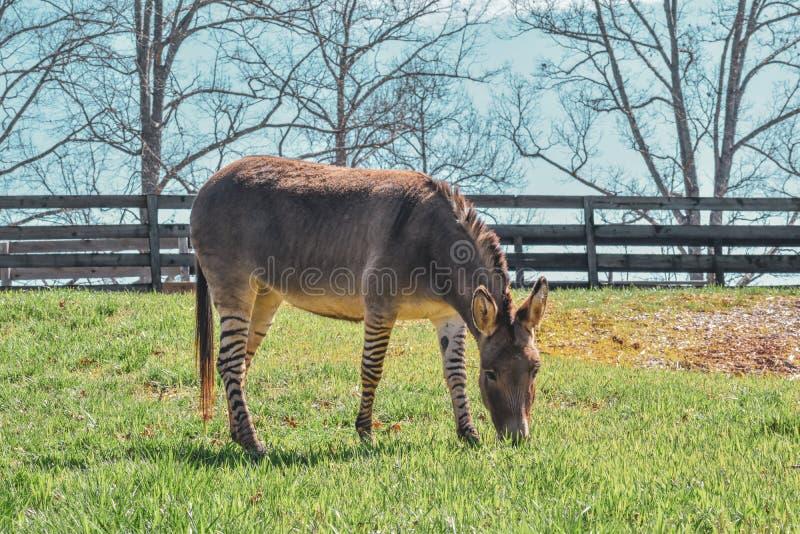 吃草与在它后的篱芭的Z-Donk 免版税库存照片